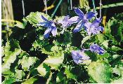 BLUE CHIPS, CAMPANULA. BLUE STAR FLOWER.