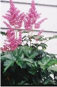 THREE BEST GARDEN PLANTS. ASTILBES.